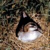 Wilson's Phalarope on nest Photo