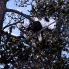 Bald Eagle in a tree along the Yellowstone River Photo