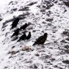 Golden Eagle & Ravens in the Gardner Canyon Photo