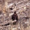 Golden Eagle on log in Lamar Valley Photo