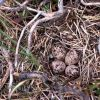 Four Spotted Sandpiper eggs in nest Photo