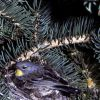 Yellow-rumped Warbler on nest Photo
