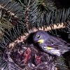 Yellow-rumped Warbler feeding young Photo