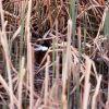 Rudy duck at Floating Island Lake Photo