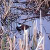 Rudy duck at Floating Island Lake Photo