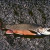 Brook Trout Photo