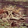 Beaver lodge Photo