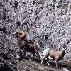 Bighorn Sheep ram & ewe on steep slope in Gardner River canyon Photo