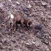 Bighorn Sheep ram near confluence of Lamar River & Soda Butte Creek Photo