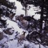 Bighorn Sheep rams in snow in Gardner canyon Photo