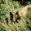 Black bear in brush Photo