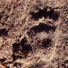 Black bear paw prints Photo