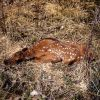 Elk calf hiding in grass Photo
