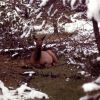 Elk calf Photo