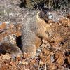 Yellow-bellied marmot Photo