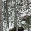 Bull moose browsing in spruce-fir forest near Soda Butte Creek Photo
