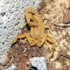 Arizona Bark Scorpion Photo