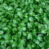 Watercress Photo